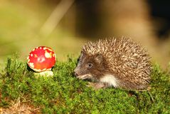 Hedgehog and toadstool stock image