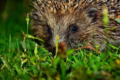 Hedgehog. Today visited my garden, spikes, danger, green grass, contrast, animal with spikes, colorful Royalty Free Stock Images
