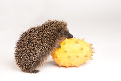 Hedgehog trying to eat a fruit Stock Photography