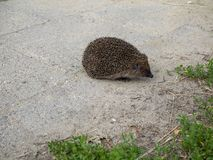 Hedgehog turn back to the nature Royalty Free Stock Photos