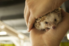 Hedgehog in two hands, selective focus on his face Stock Photo