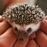 Hedgehog (two weeks) Royalty Free Stock Photo