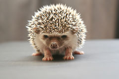 Hedgehog (two weeks). On a table Royalty Free Stock Photography