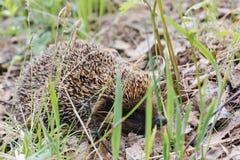 hedgehog Um ouriço na madeira Foto de Stock