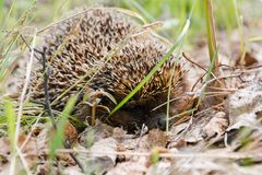 hedgehog Um ouriço na madeira Imagens de Stock