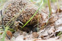 hedgehog Um ouriço na madeira Fotos de Stock Royalty Free