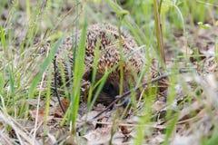 hedgehog Um ouriço na madeira Imagens de Stock Royalty Free