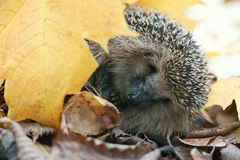 Hedgehog under autumn leaves Royalty Free Stock Photo