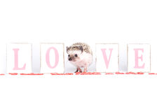Hedgehog Valentine Stock Photography