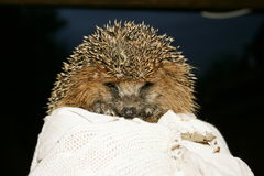 Hedgehog. It is a very cute Hedgehogn Stock Image