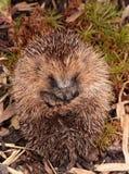 Hedgehog. Royalty Free Stock Photography