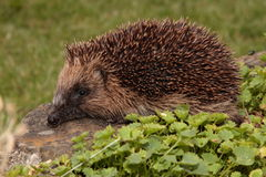 Hedgehog. Royalty Free Stock Photos