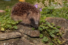 Hedgehog. Stock Photos