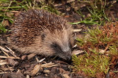 Hedgehog. Stock Photo