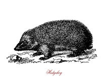 Hedgehog, vintage engraving. A spiny mammals of the subfamily Erinaceinae. Hedgehogs are omnivorous. They feed on insects, snails, frogs and toads, snakes, bird Stock Image
