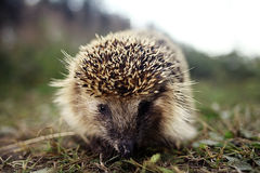 Hedgehog wakes up in  spring Royalty Free Stock Photography