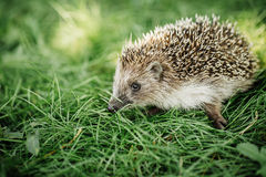 Hedgehog on a walk on the grass Stock Images