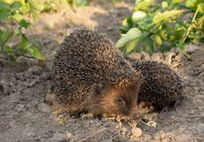 Hedgehog on a walk with my mother, nature in the forest royalty free stock photography