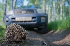 Hedgehog. Walking along a forest road in front of car Stock Photo