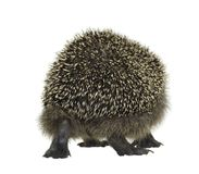 Hedgehog walking away Royalty Free Stock Photo