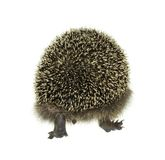 Hedgehog walking away Stock Photo