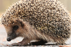 Hedgehog walking at forest Royalty Free Stock Images