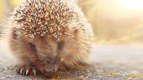 Hedgehog walking at forest Stock Image