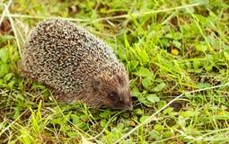 Hedgehog walking in the garden Stock Photography
