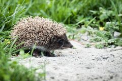 Hedgehog walking in garden Royalty Free Stock Photo