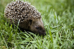 Hedgehog walking on grass. Young hedgehog walking trough the grass stock image