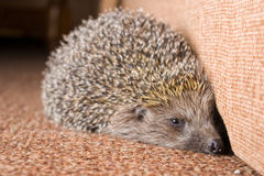 Hedgehog walking indoors closeup Royalty Free Stock Image