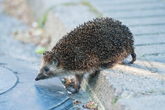 Hedgehog walking through the street. Stock Photo