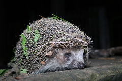 The hedgehog walks at night Royalty Free Stock Photography