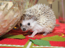 Hedgehog wandering on a dining table Royalty Free Stock Images