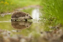 Hedgehog and the water. Walking hedgehog and the water Stock Image