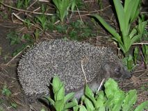 Hedgehog went for a walk at night in our flower bed. royalty free stock image
