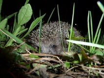 Hedgehog went for a walk at night in our flower bed. stock photo