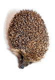 Hedgehog  on white Stock Photo