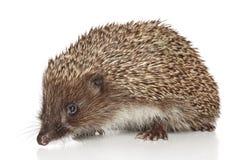 Hedgehog on white background Royalty Free Stock Photo