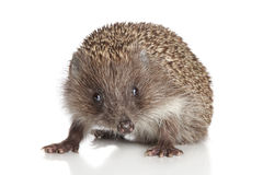 Hedgehog on white background Stock Photo