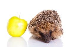 Hedgehog  on white background animal wildlife Royalty Free Stock Images