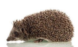 Hedgehog on white background Royalty Free Stock Images