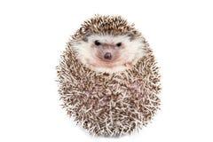 Hedgehog on the White Background. Hedgehog isolated on the White Background Royalty Free Stock Photo