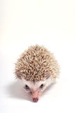 Hedgehog  on white background Royalty Free Stock Photography