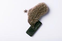 Hedgehog on white background Stock Image