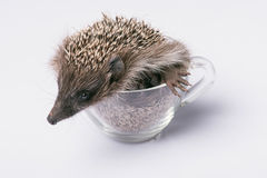 Hedgehog on white background Royalty Free Stock Image