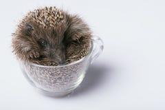 Hedgehog on white background Stock Photos