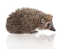 Hedgehog on white Stock Photos
