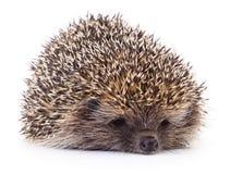 Hedgehog on white. Royalty Free Stock Image