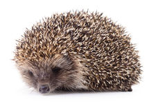 Hedgehog on white. royalty free stock photography